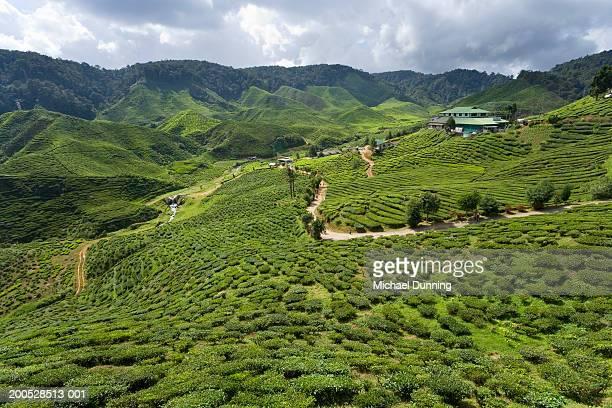 Malasia, Pahang, Cameron Highlands tea plantation