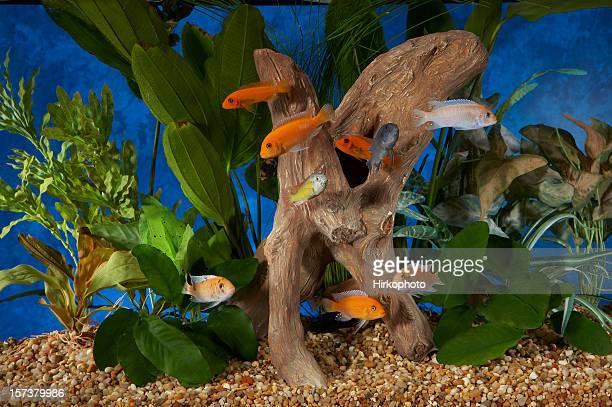 Malawi Cichlids große Gruppe im tropischen tank-Top