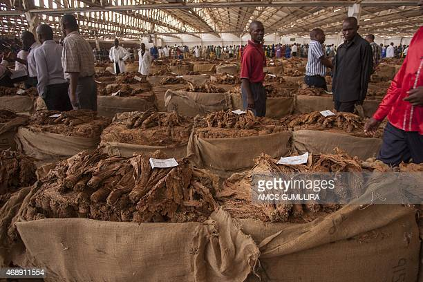 Malawi tobacco is displayed on April 8 2015 at the Lilongwe Auction Floors during the opening day of the tobacco market President Peter Mutharika...