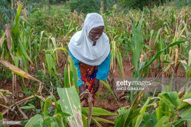 Malawian farmer Grace Stenala of Traditional Authority Chigalu in Blantyre Southern Malawi checks damaged maize stalks in her garden on February 14...