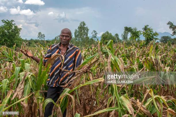 Malawian farmer Joseph Kamanga walks through his maize field destroyed by dry spells at Lunzu in Blantyre Southern Malawi on February 14 2018 A total...