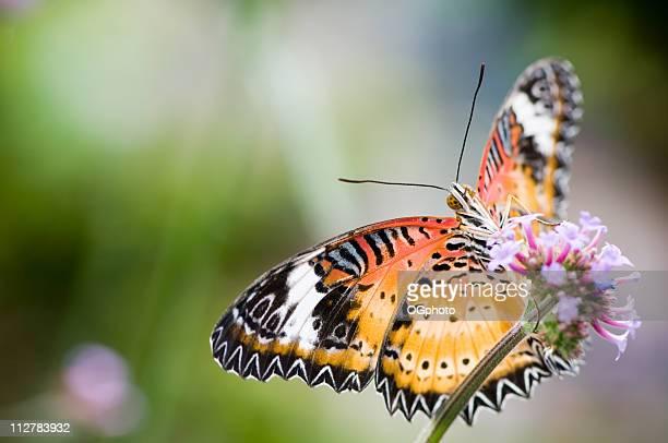malais ailes en dentelle sur une fleur. - ogphoto photos et images de collection