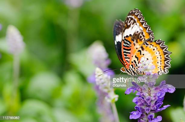malay lacewing on purple flower - ogphoto stock pictures, royalty-free photos & images