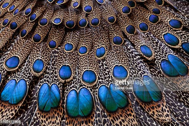 malay peacock pheasant tail and wing feathers - pheasant tail feathers imagens e fotografias de stock