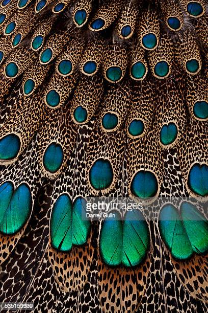 malay peacock pheasant wing & tail feather design - pheasant tail feathers imagens e fotografias de stock