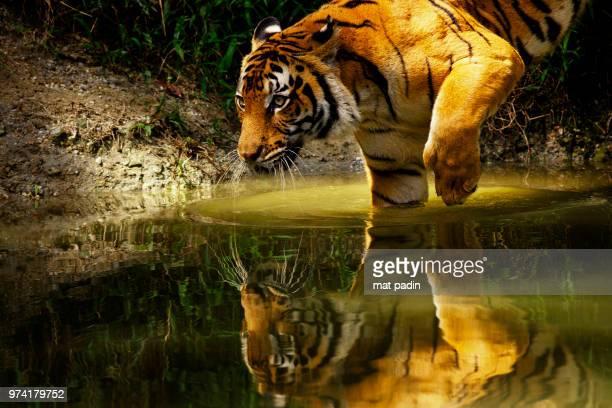 Malay Tiger (Panthera tigris jacksoni) walking in water at Taiping Zoo, Taiping, Perak, Malaysia
