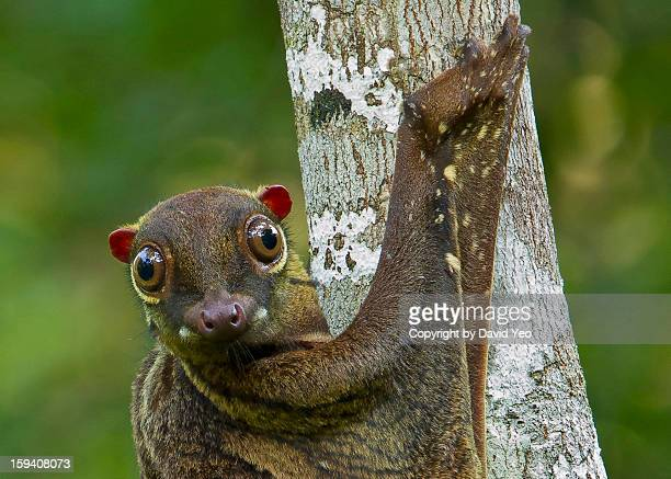 malayan colugo - flying lemur stock pictures, royalty-free photos & images