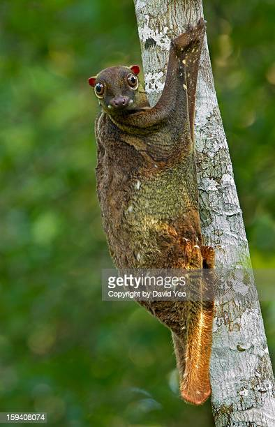 malayan colugo_0046 - flying lemur stock pictures, royalty-free photos & images