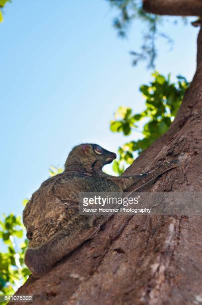 malayan flying lemur | pulau perhentian - flying lemur stock pictures, royalty-free photos & images