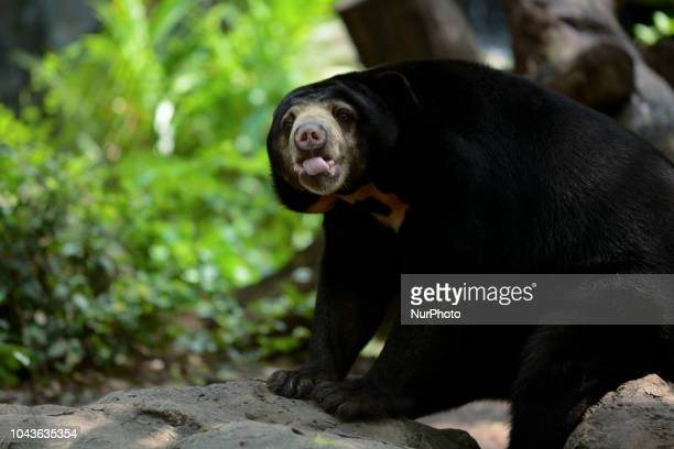 Malayan Sun Bear inside a cage at Dusit Zoo in Bangkok Thailand 30 September 2018 Dusit Zoo is Thailand's first public zoo opened 80 years ago on 18...