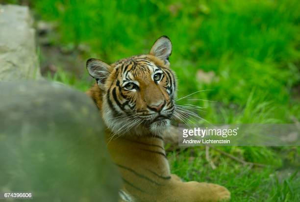 Malayan tiger cub in its enclosure at the Bronx Zoo on April 27 2017 in the Bronx New York