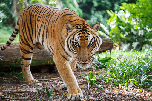 Malayan tiger is walking towards viewer lookig straight 637036204