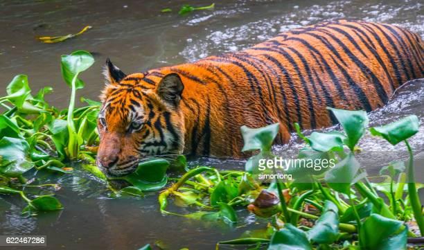 Malayan Tiger making its way through water