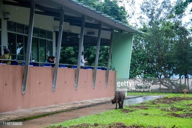 Malaysia: Bornean Bearded Pig