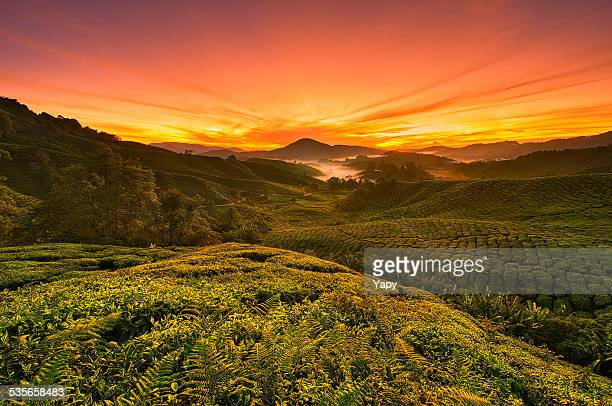 Malaysia, Cameron Highland, View of tea plantations from uncultivated hilltop at sunrise
