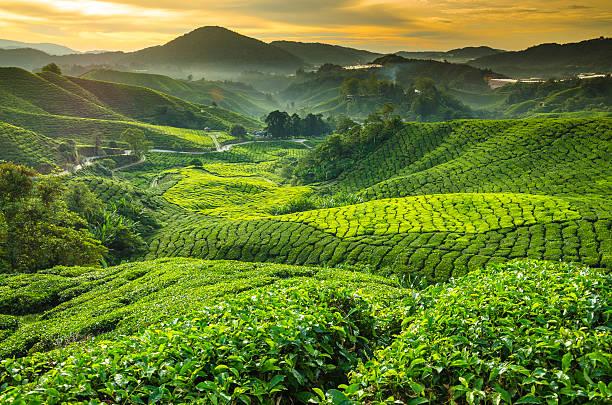 Malaysia, Pahang, Cameron Highlands, Brinchang, Te Wall Art