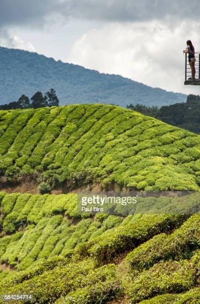 Malaysia, Pahang, Cameron Highlands, Brinchang, Tea Plantation