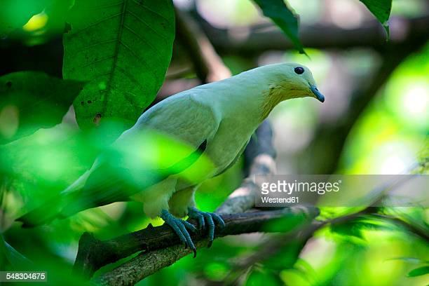 malaysia, pahang, taman negara national park, bird on branch - taman negara national park stock photos and pictures