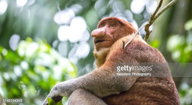 malaysia: proboscis monkey - bako national park stock pictures, royalty-free photos & images