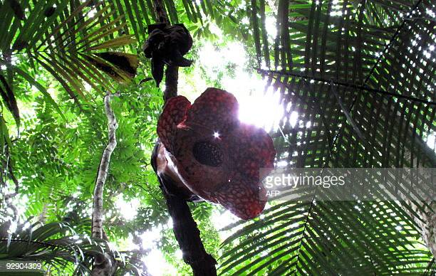 MalaysiaenvironmentRafflesiaFEATURE by Sarah Stewart The world's biggest flower named Rafflesia hangs off a branch in the forests of Ulu Geroh in...