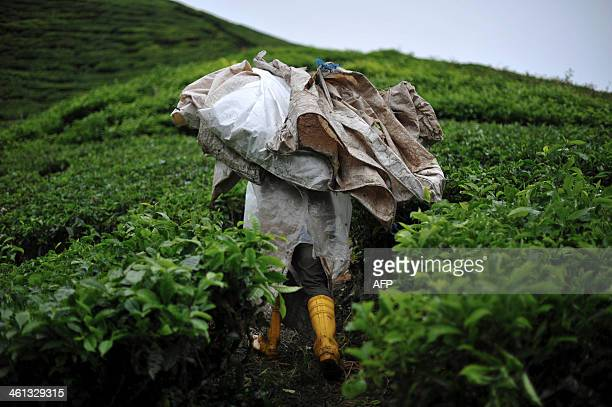 MalaysiaenvironmenttourismCameronHiglandsleisureFEATURE by M This picture taken on November 20 2013 shows a man carrying bags of tea leaves in the...