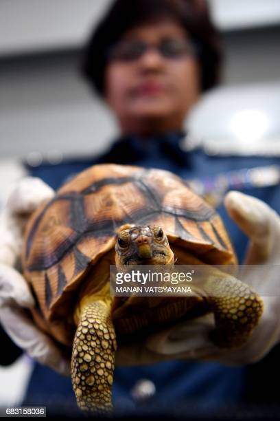 Malaysian airports customs official shows seized endangered ploughshare and radiated tortoises following a press conference at the Customs Complex in...