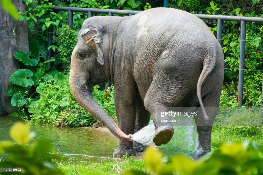 Malaysian elephant daily bath at National Zoo of Kuala Lumpur : Stock Photo
