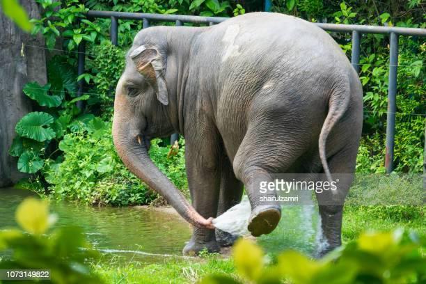 malaysian elephant daily bath at national zoo of kuala lumpur - shaifulzamri stock pictures, royalty-free photos & images