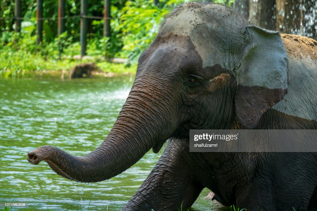 Malaysian elephant daily bath at National Zoo of Kuala Lumpur, Malaysia. : Stock Photo