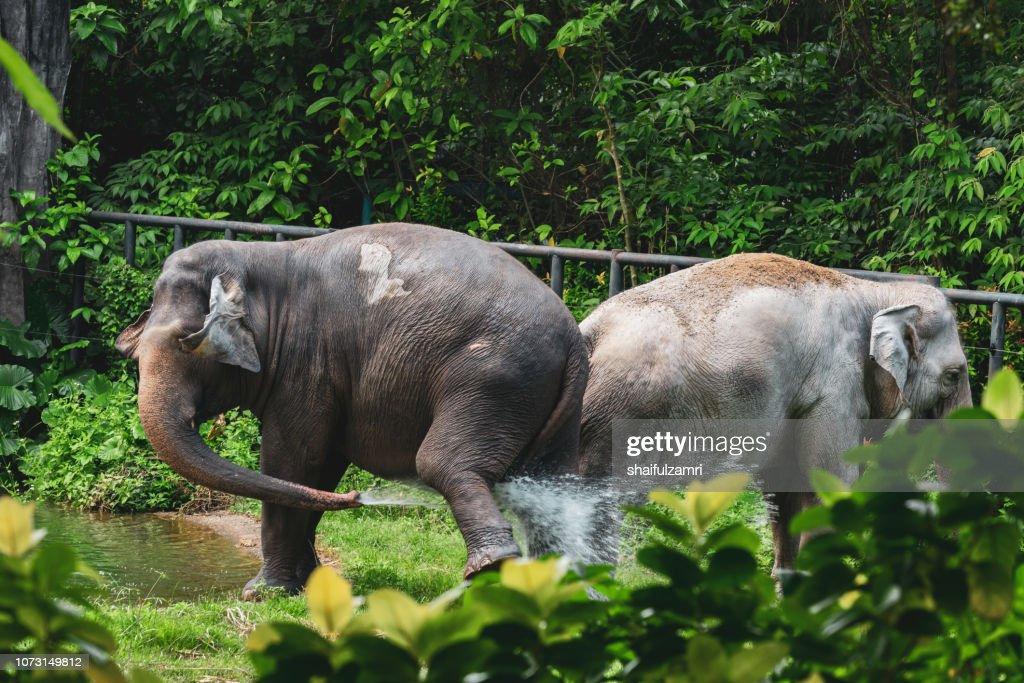 Malaysian elephants daily bath at National Zoo of Kuala Lumpur : Stock Photo