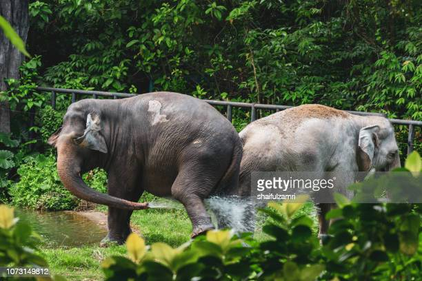 malaysian elephants daily bath at national zoo of kuala lumpur - shaifulzamri bildbanksfoton och bilder