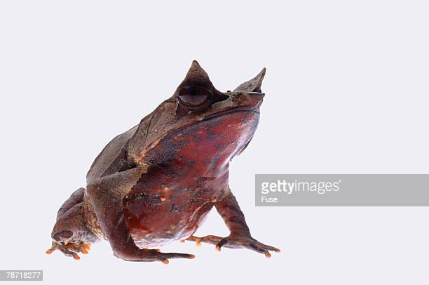 malaysian horned frog - horned frog stock photos and pictures