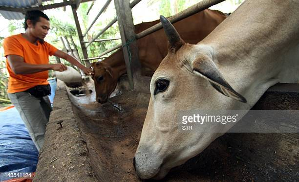 MalaysiapalmoilcommoditiesIPOcompanyFeldaFOCUS by M Jegathesan A picture dated February 29 2012 shows a farmer feeds his cattles after working at a...