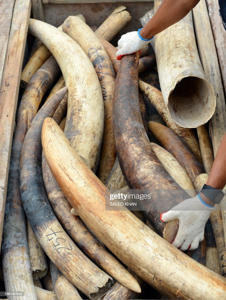 A Malaysia's customs officer rearranges elephant tusks into a hidden compartment at the customs house in Malaysia's port town of Klang outside Kuala Lumpur on December 11, 2012. Customs seized the two containers on December 7 and December 10, 2012 and found they were filled with wooden crates which had secret compartments filled with elephant tusks. They estimate that the containers held about 1,500 tusks weighing about 24,000 kgs, valued at a millions of US dollars. AFP PHOTO / Saeed Khan