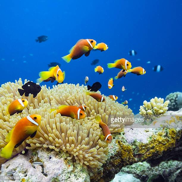 Maldives Anemonefish - Amphiprion nigripes