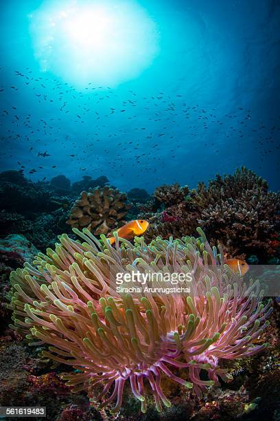Maldives Anemonefish inhabits in a sea anemone
