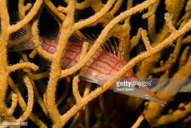 maldives, longnose hawkfish in coral - hawkfish stock pictures, royalty-free photos & images