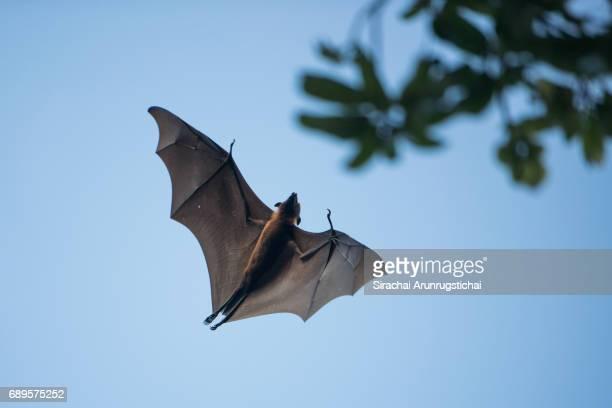 maldivian flying fox flies toward a tree under blue sky - omnívoro fotografías e imágenes de stock