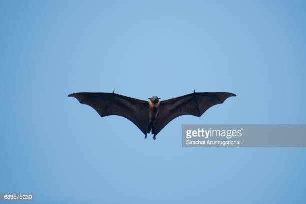 A Maldivian flying fox soars under clear blue sky