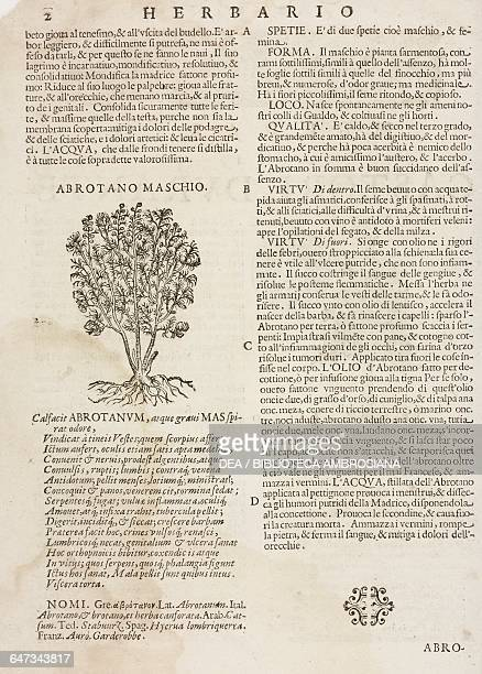 Male Abrotanum or Southernwood page from the Herbario Nuovo by Castore Durante engravings by Leonardo Norsini Parasole and Isabella Parasole edition...