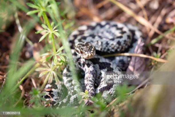 A male adder curls up behind a tree in Northumberland on April 19 2019 in Rothbury England Experts have warned the UK's only native venomous snake is...
