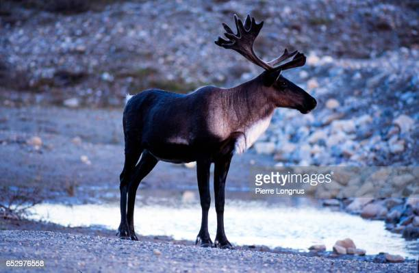 Male adult Caribou in Stone Mountain provincial Park, British Columbia, Canada