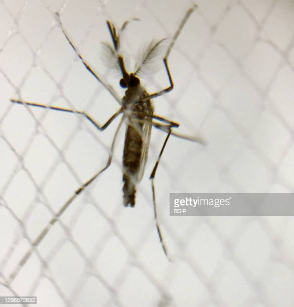 Male Aedes aegypti mosquito. Credit: NIAID