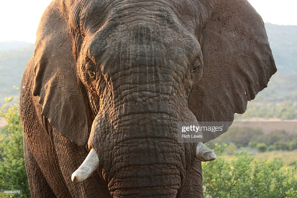 Male African Bush Elephant   : Stock-Foto