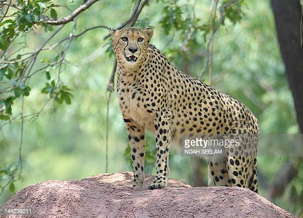 60 Top Indian Cheeta Pictures, Photos, & Images - Getty Images
