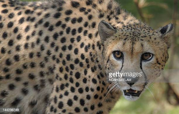 A male African cheetah name Dark is released at his enclosure at the Nehru Zoological Park in Hyderabad on May 12 2012 Three Cheetahs from the Dvur...