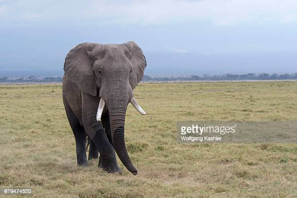 A male African elephant in Amboseli National Park in Kenya