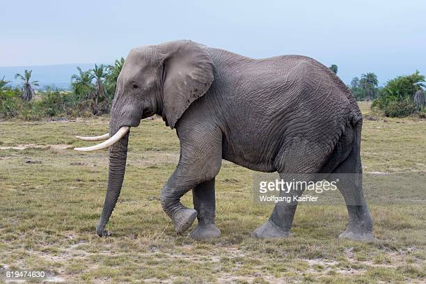 A male African elephant in Amboseli National Park in Kenya