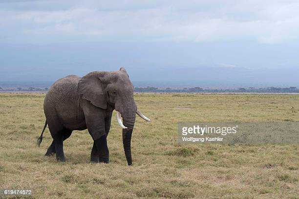 A male African elephant in musth or must in Amboseli National Park in Kenya