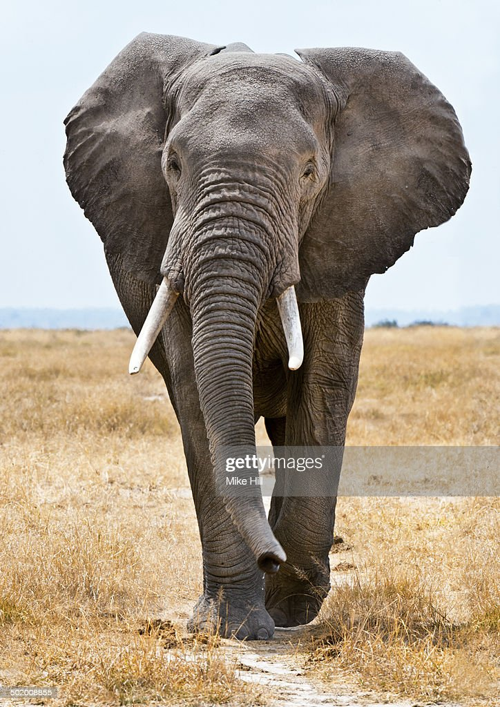 male african elephant walking stock photo getty images